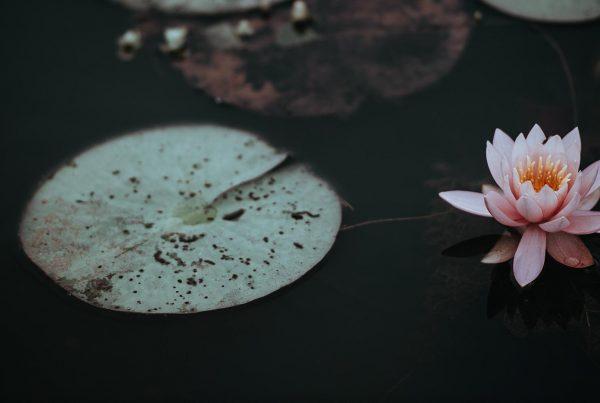 Flor de Lótus, símbolo associado a espiritualidade
